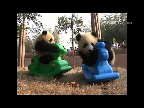 NET5 - Lucunya Tingkah Laku Anak Panda di China