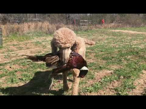 Louter Creek Hunting Poodles (Tower Shoot 2017)