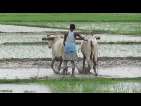 Ploughing and flattening of paddy field with oxen in rural India