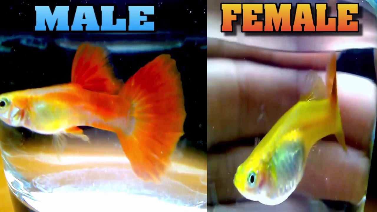 How can you tell if a guppy is male or female FISH TANK AQUARIUMS ...
