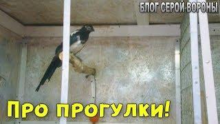Архив: Как я организую прогулки для птиц.  Вороны, грач, галка, сорока и голубь под одной крышей