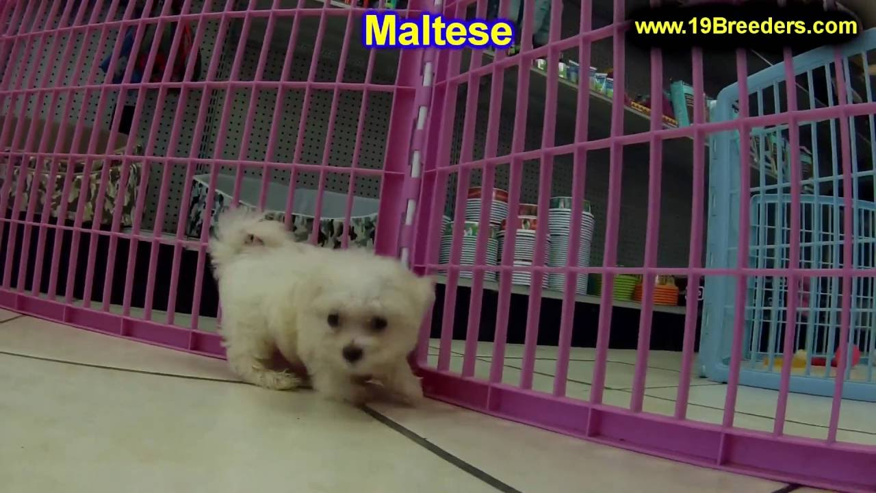 Maltese Puppies Dogs For Sale In Louisville Kentucky Ky 19breeders Bowling Green Youtube