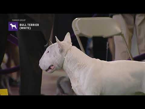 Bull Terriers White | Breed Judging 2019
