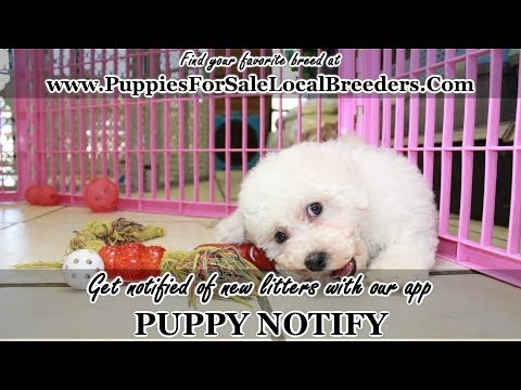 BICHON FRISE PUPPIES FOR SALE, GEORGIA LOCAL BREEDERS, NEAR ATLANTA, GA
