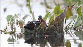 Wood Duck Pair Preening