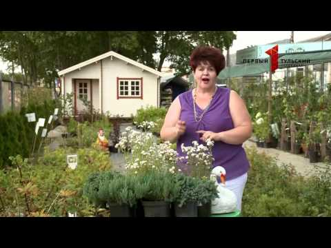 Вопрос: Ахиллея садовая, что за растение?