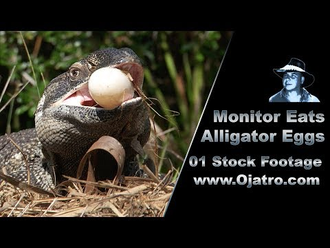Monitor Eats Alligator Eggs 01 Stock Footage