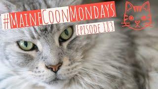 #MaineCoonMondays – Episode 183