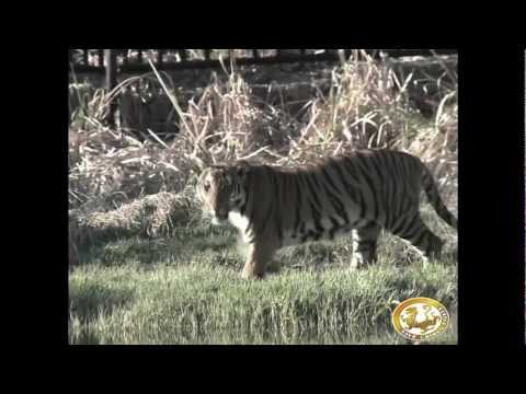 Training Tigers to hunt and kill in South Africa : Rewilding