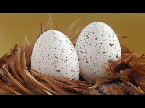 Грязные куриные яйца - причины.