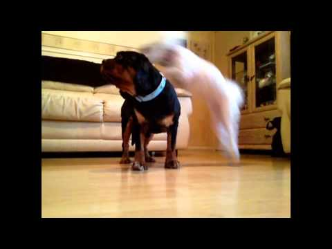 Sheby Star Performing Amazing Dog Tricks