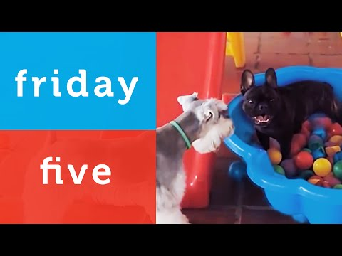Funny French Bulldog Plays in a Ball Pit and More (Petco Friday 5)