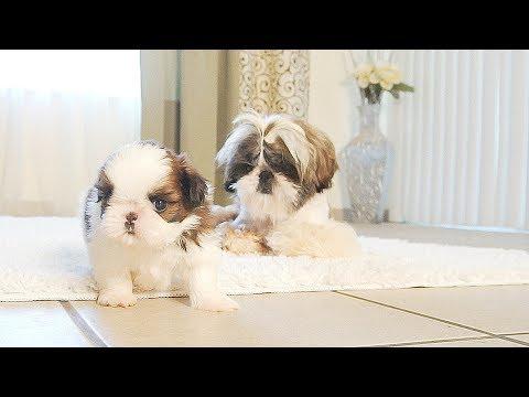 Stress Reliever | Shih Tzu Puppy