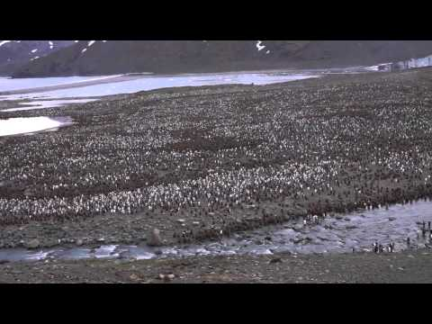St Andrews By King Penguin Rookery
