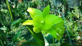 Cattleya Long Vương RLC Sun Ya Green 'Dragon King' KDC 0687