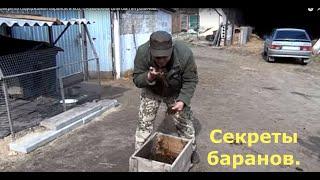 Секреты содержания баранов и коз, с Кумицким Олегом Петровичем.