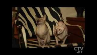 CTV.BY: Сфинкс – кошка-шок: чем она покоряет людей и с кем всегда готова дружить