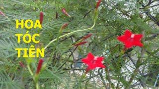 Một loài hoa đỏ be bé, mỏng manh có tên là Hoa Tóc tiên - Cuộc sống quanh ta: Số 660.