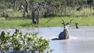 Kudu and Wild Dogs