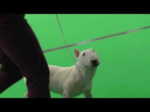 Miniature Bull Terrier Lafenice Joey Tribiani (#BullTerrier #Miniature)