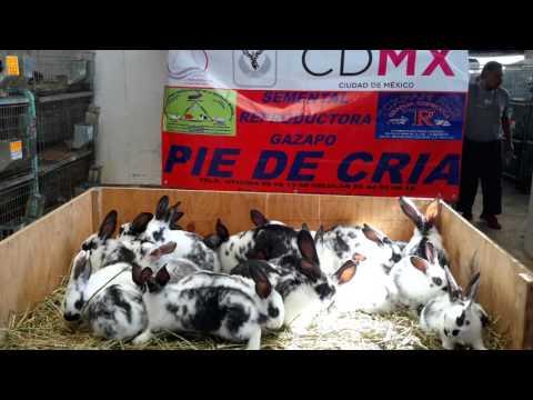 PRECENTACION DE CONEJOS GIGANTE MARIPOSA from YouTube · Duration:  4 minutes 4 seconds
