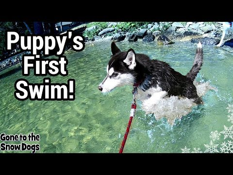 Husky Puppy at the Lake | Puppy First time Swimming