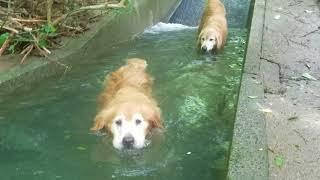 狭いけど水は冷たいプール、ゴールデンレトリバー 8月25日 thumbnail
