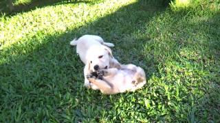 Pug And Labrador Puppies Having Fun