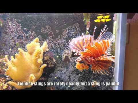 Dwarf Zebra Lionfish Feeding Time