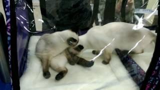 Чем тайские котята Изабель и Калиостро занимались в палатке на выставке кошек! Тайские кошки - это ч