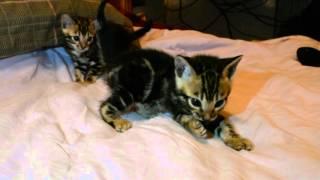 мраморные бенгальские котята