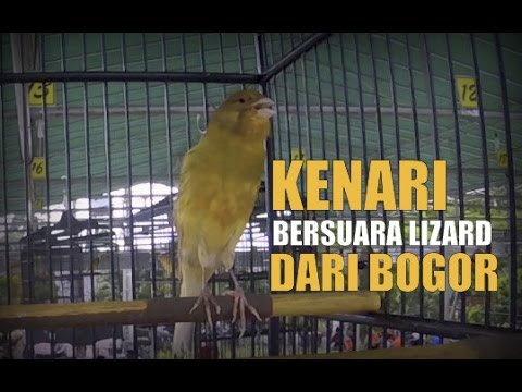 Download Lagu BRANDY WATCH : Heboh ! Kenari Gacor Bersuara Lizard Unik Diatas Gantangan (Canary Singing Contest)