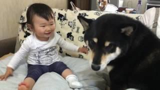 【癒やし】見る者を幸せにする「子供と柴」の超なかよし映像