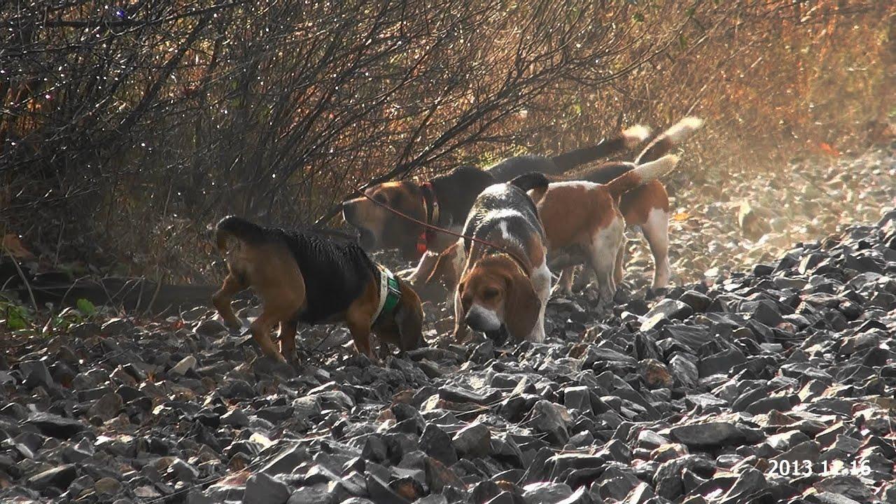 Beagle hunting - photo#29