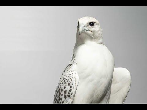 The Evolution Of Gulf Falconry
