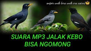 Download SUARA BURUNG JALAK BISA NGOMONG || POKOE UNIK ||COCOK BUAT MASTERAN ISIAN