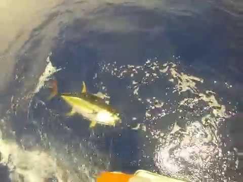 Thrill Seeker fighting a 165 pound Yellow Fin Tuna in Kona Hawaii