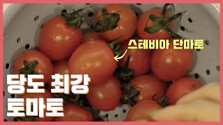 다이어트할 때 먹기 좋은 정말 달달한 토마토, 방울토마…