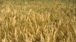 2 HOURS of summer, barley field at getting the wind & Swallows chirrup and Crickets chirping