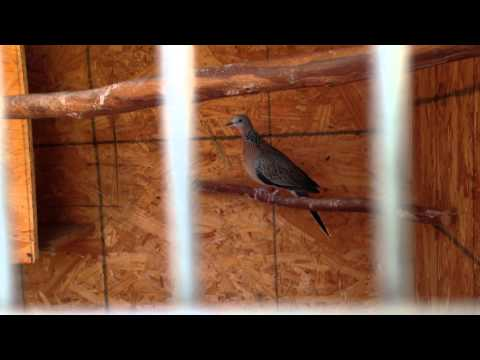 Spotted dove females