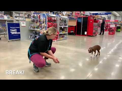 Best Dog Training Toledo, Ohio! 1 Year Old Boston Terrier, Mack!