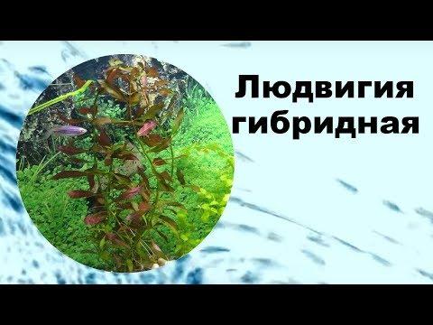 Людвигия гибридная в аквариуме, ползучая, дугообразная, содержание, как сажать.