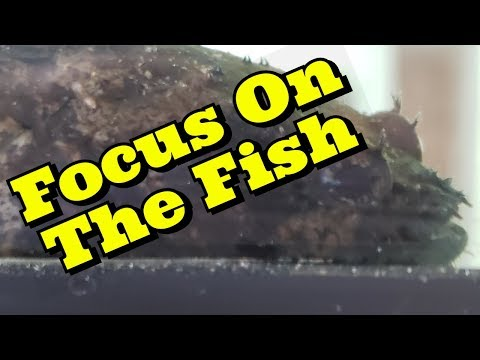 Focus On The Fish | Bullrout (Freshwater Stonefish/ Lionfish)