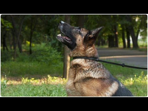 German Shepherd with his Leather Dog Leash & Collar Combo on - Amazing 2-in-1 Combo