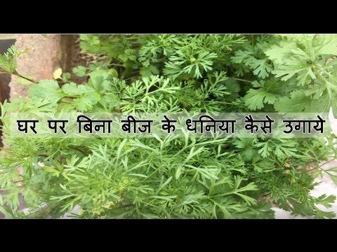 घर पर बिना बीज के धनिया कैसे उगाये | How to grow Coriander at home in hindi
