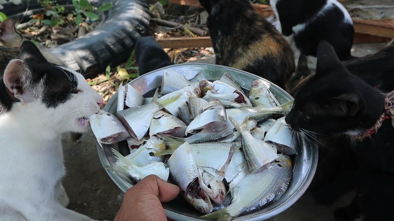 Many fish for cats - Feeding cats - Cats eating fish - The Gohan Dog And Cats