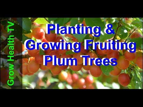 How to Plant & Grow a Plum Tree #1   Grow Health TV