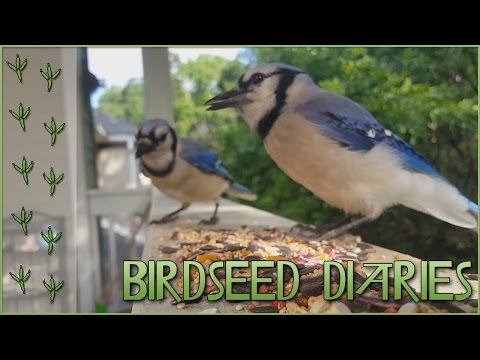 A Chattering Blue Jay Family || Birdseed Diaries: Wild Birds!