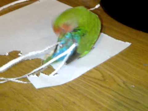 My love bird dose not like her shorter tail