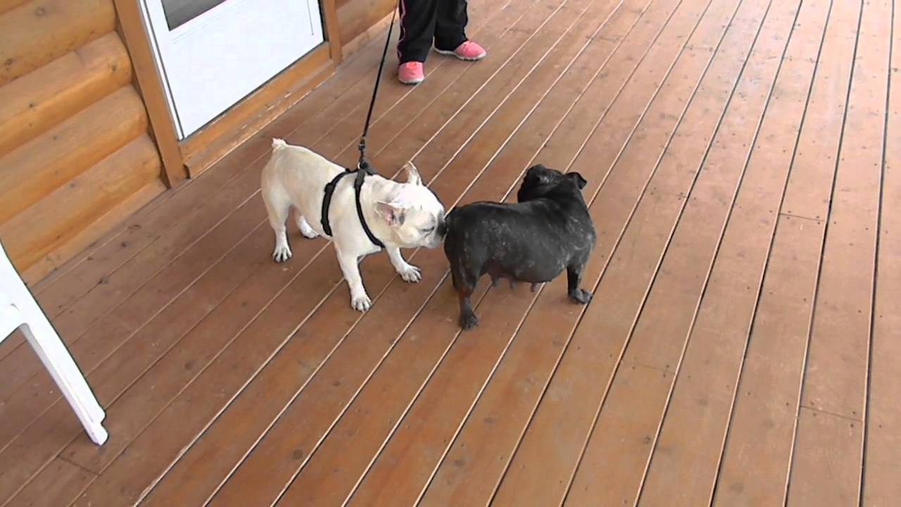 French Bulldog Male Name Boots - YouTube